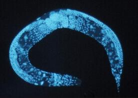 Longevity Shown for First Time to Be Inherited via a Non-DNA Mechanism
