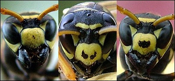 Honest Wasps