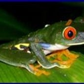 THE RED-EYED TREE FROG HANGS ON
