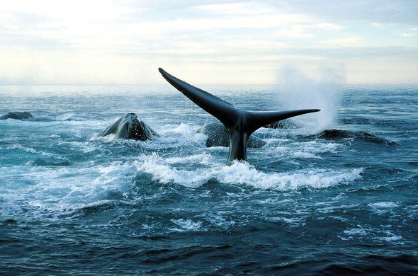 Save the Right Whales by Cutting through the Wrong Noise