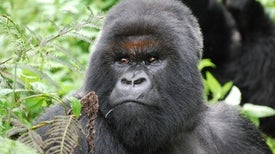 3 Decades after Dian Fossey, Gorillas Still Face Extinction