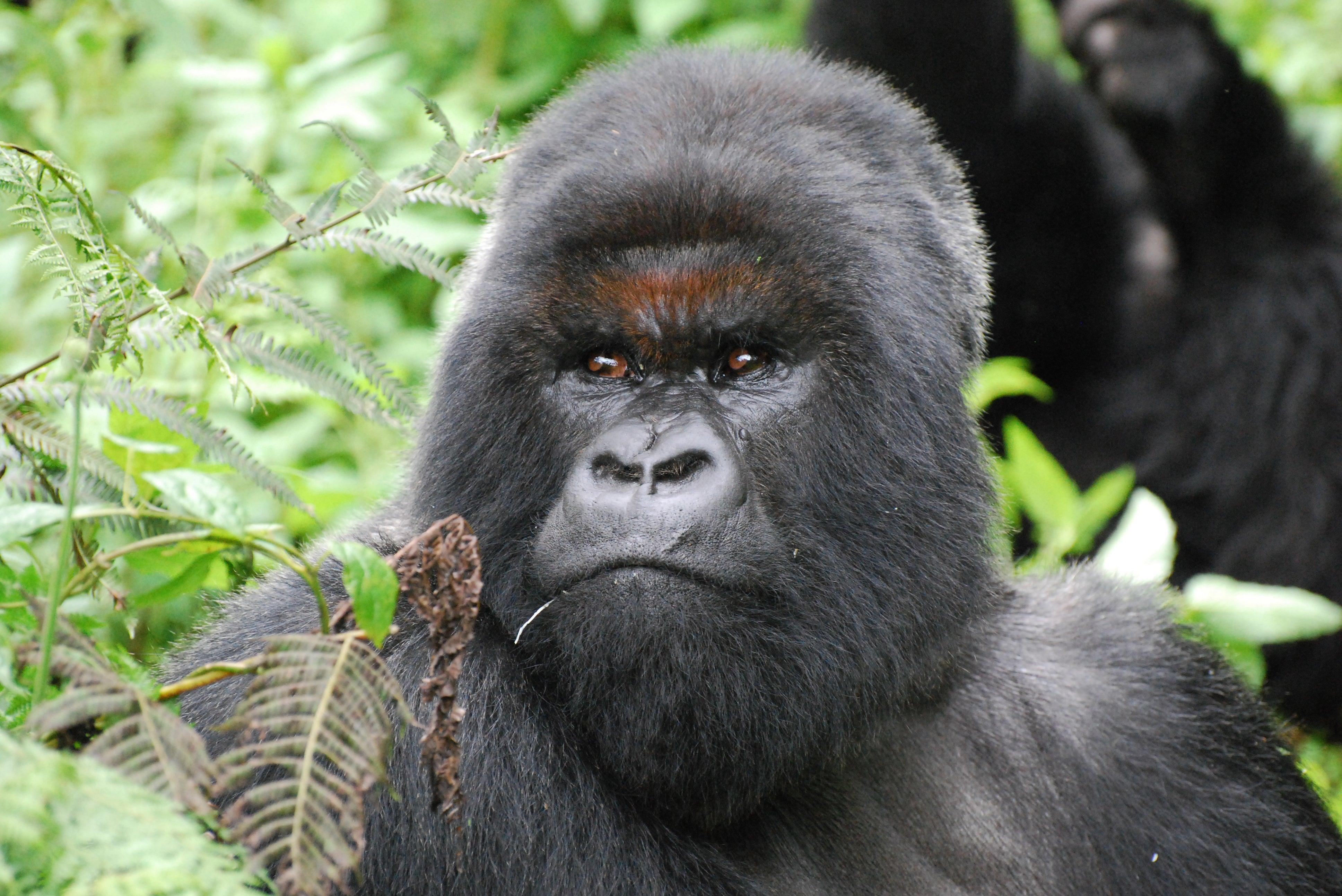 Real Gorilla Hand Ashtray Best Chimpanzee And Gorilla