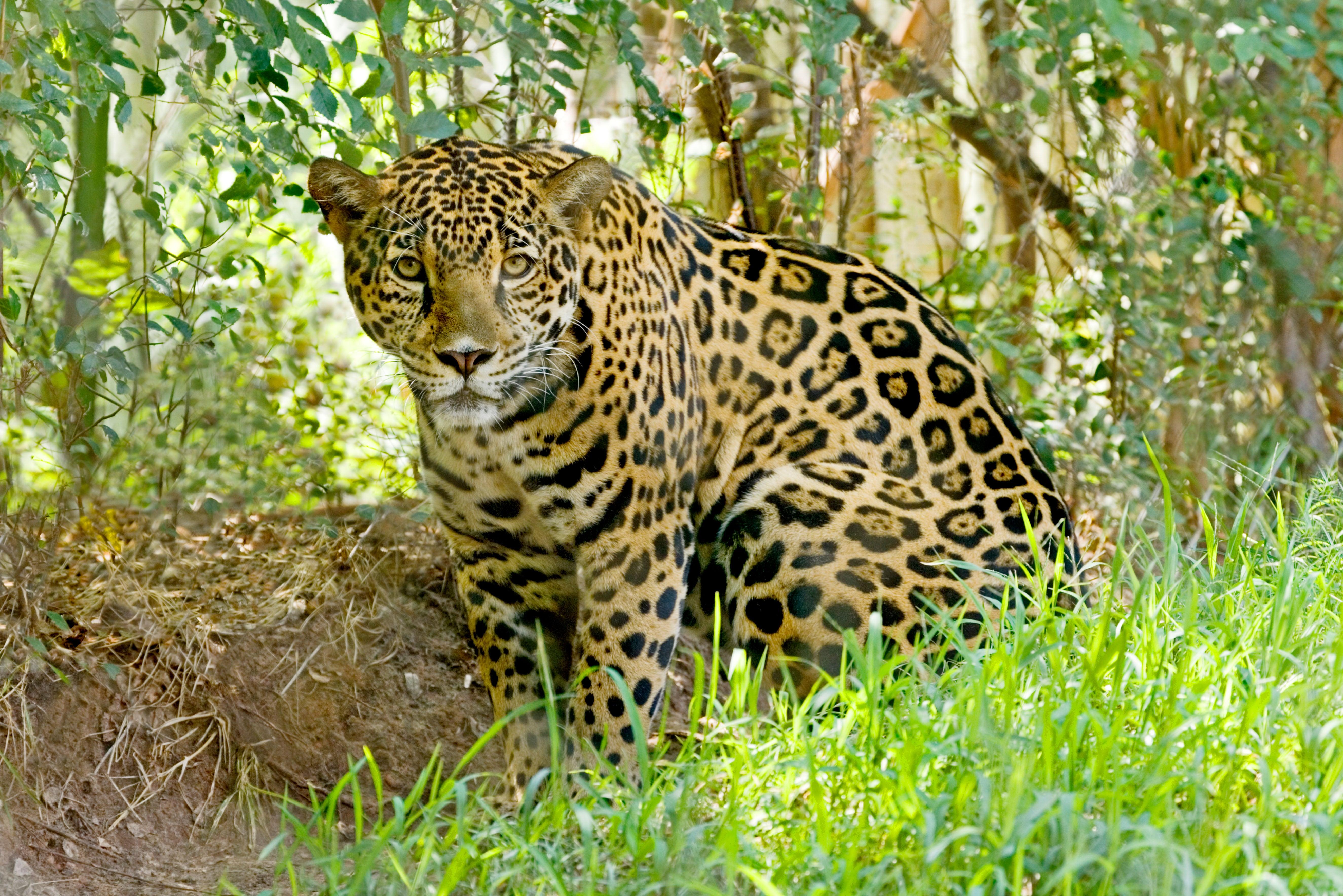 Let's Rebuild the U.S. Jaguar Population--Yes, Jaguars