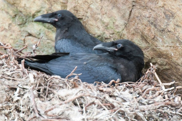 Ravens Measure Up to Great Apes on Intelligence