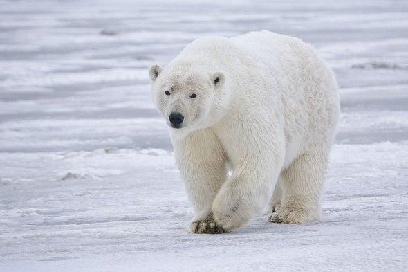 Landlocked Polar Bears Find New Prey