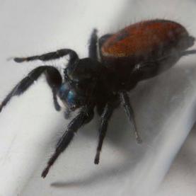 Space-Flown Spider Dies in Smithsonian