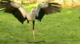 Secretary Bird Stomps Snakes with a Killer Kick