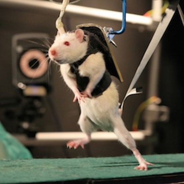With Willpower, and a Jolt of Electricity, Paralyzed Rats Learn to Walk Again [Video]