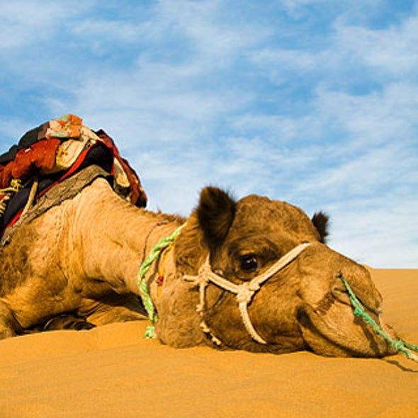 Camels Plagued by Parasites