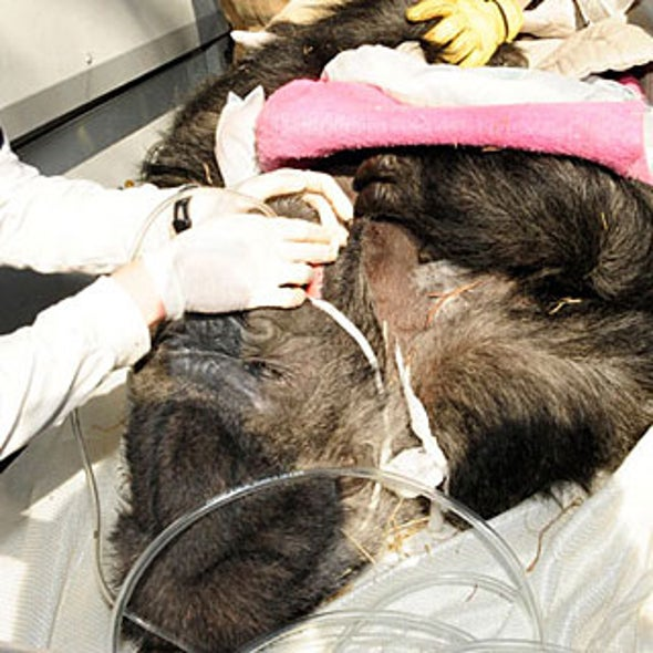 Slide Show: Gorilla Gets a Brain Scan
