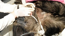 Slide Show: Gorilla Gets a Brain Scan