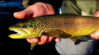 Pollution Spurs Rapid Adaptation in Trout