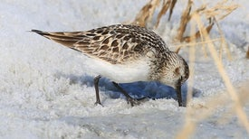 Late Snowpack Signals a Lost Summer for Greenland's Shorebirds
