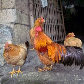 Chinese chickens