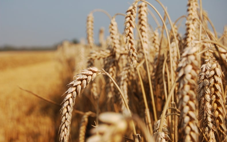 Devastating Wheat Fungus Appears in Asia for the First Time