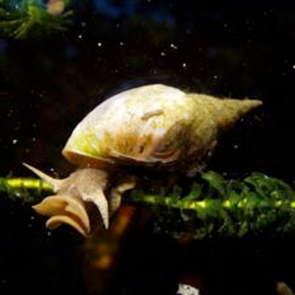 Meth-Head Snails' Enhanced Memories Offer Clue to Why Addiction Is Hard to Control