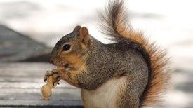 Squirrels Chunk Their Buried Treasure