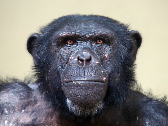 chimps outplay humans in brain games scientific american