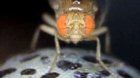 Fly Brains Provide Clues to Human Motion Perception