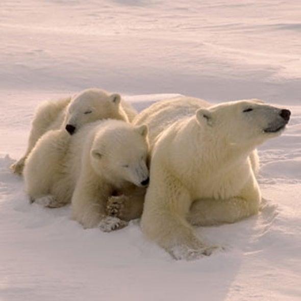 Court Orders U.S. to Stop Keeping Polar Bear Status on Ice