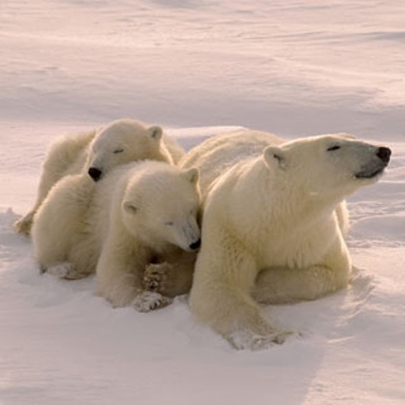 Court Orders U.S. to Stop Keeping Polar Bear Status on Ice