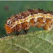 African Countries Mobilize to Battle Invasive Caterpillars