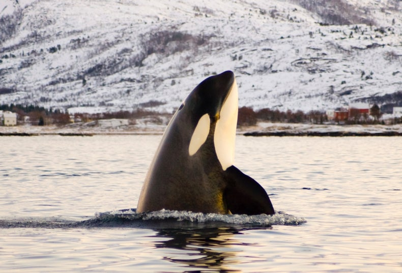 SeaWorld Ends Controversial Captive Breeding of Killer Whales