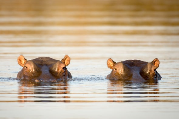 Pablo Escobar's Hippos Could Endanger Colombian Ecology