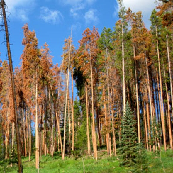 Mountain Pine Beetle Damage Declines