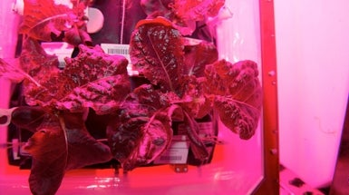 Astronauts Take First Bites of Lettuce Grown in Space