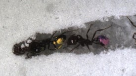 Ants' Excavation Secrets Revealed