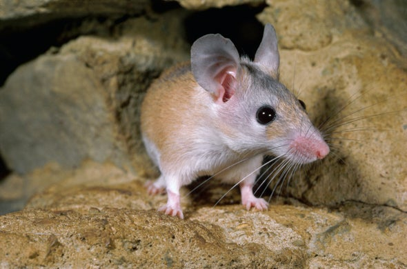 First Rodent Found with a Humanlike Menstrual Cycle