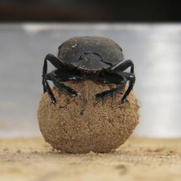 Dirty Dancing: Dung Beetles Get Down to Walk the Line