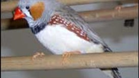 Male Songbird Responds to Mate Only When He's the Third Wheel