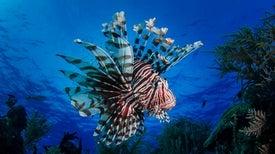 Shyness Helps Parrotfish Survive Invasive Predators