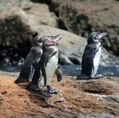 Galápagos penguin,