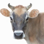 In 200 Years Cows May Be the Biggest Land Mammals on the Planet