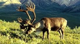 Alaskan Caribou Are Adapting to Warming