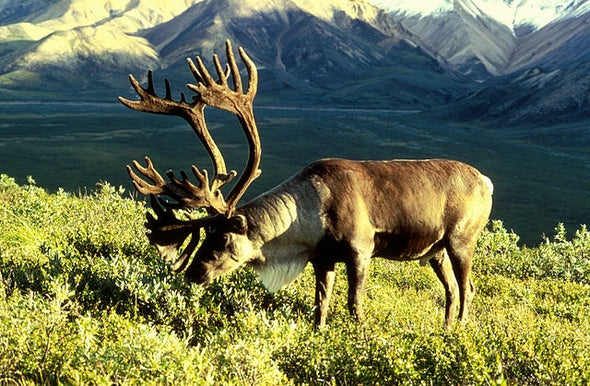 Alaskan Caribou Are Adapting to Warming
