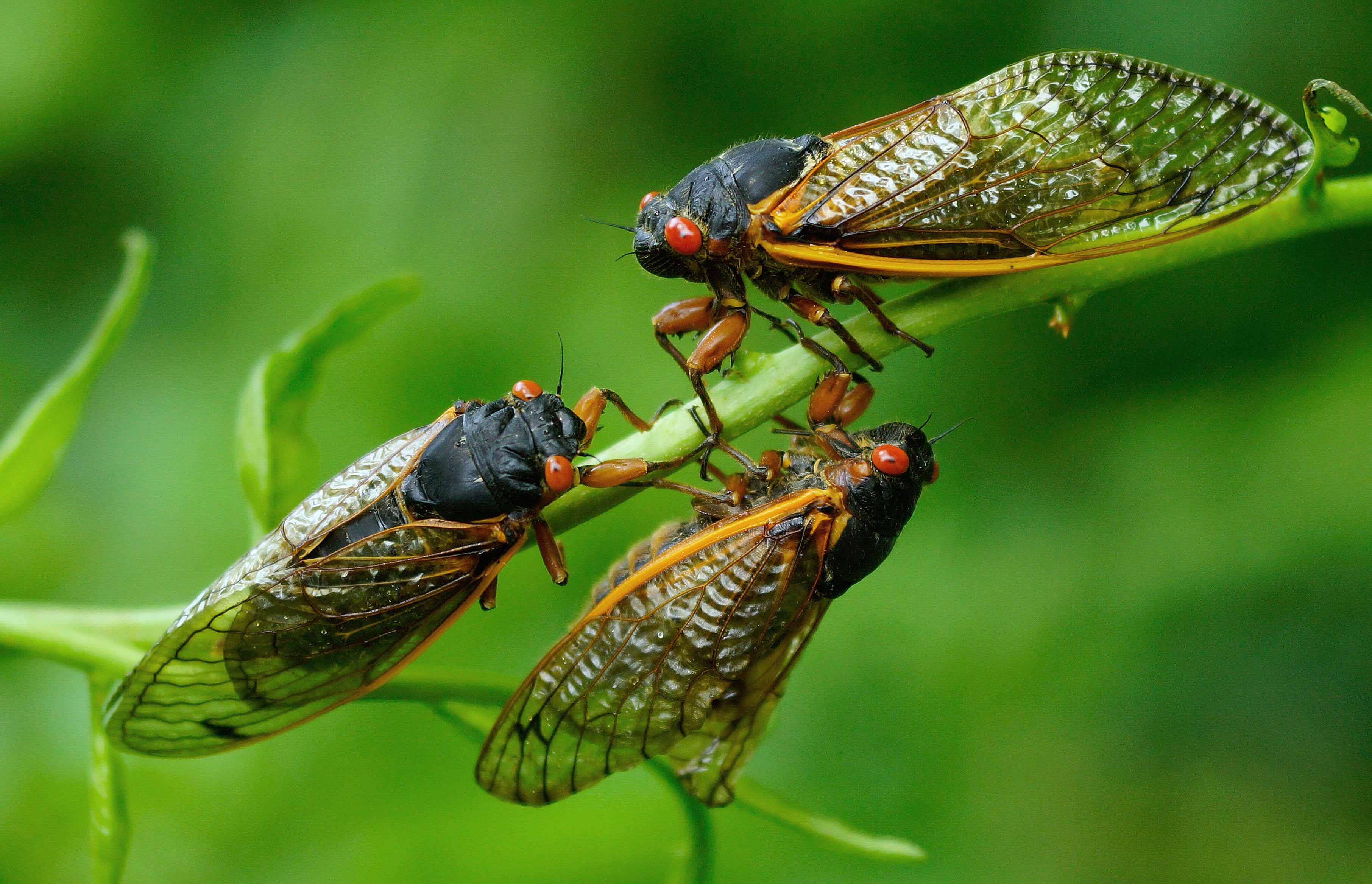 <p>Brood X Cicadas Could Cause a Bird Baby Boom thumbnail