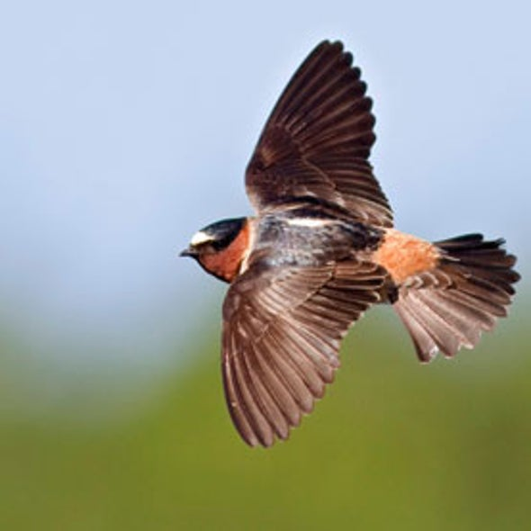 Swallows May Be Evolving to Dodge Traffic