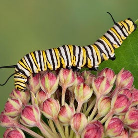 Royal Descent: Monarch Butterflies Suffer Sharp Drop in Numbers