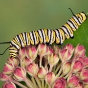 Royal Descent: Monarch Butterflies Suffer Sharp Drop in Numbers