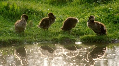 How to Win Friends and Influence Ducklings