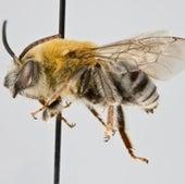 13. Squash Bees