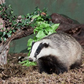 Wild Badger at Cannich in Scotland