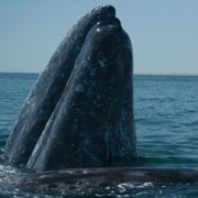 Whales and Fish Adapt to Climate-Induced Changes in the Pacific Ocean