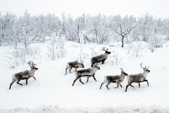How Herbivore Herds Might Help Permafrost