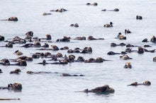 Otters Show How Predators Can Blunt Climate Damage