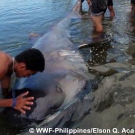 megamouth shark, shark, rare species, fourth biggest shark, cryptid